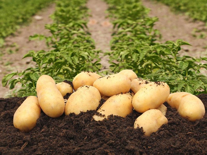 Pomme de terre nouvelle