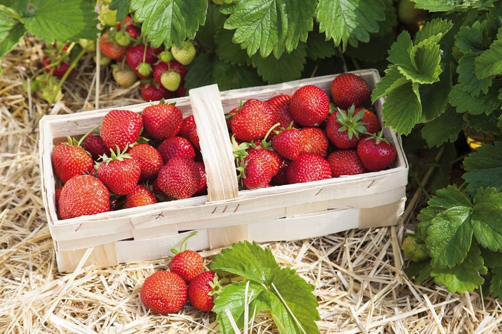 fraises-leger